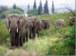 elefantes de duelo